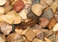lizard/Newt 2