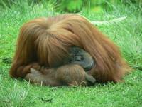 Orangutan I