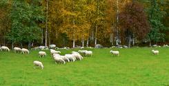 Sheep on grazing ground