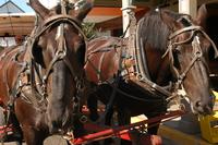 Mackinac Island Carriage Horses