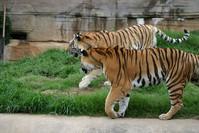 Tigers 3