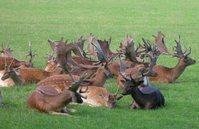 Deer Heads 1