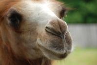 Funny camels