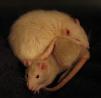Rat Heart