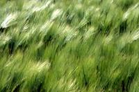 Barley blured 1