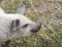 Little Swine yumming