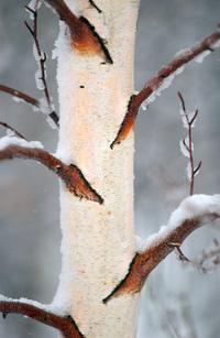 Winter Bark 1