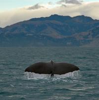 Sperm whale dives 2