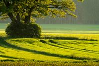 Old Oak in Fields, Sunset