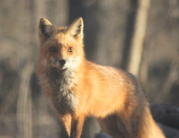 Red Fox in the Wild 2