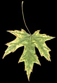 Dry Leaf Pressed