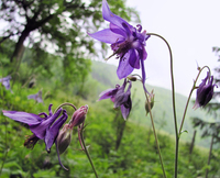 wild purple columbine 2