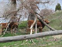 Longhorn Cattle 1