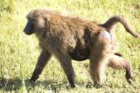 baboon mum 2