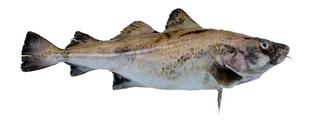 Fish Cod