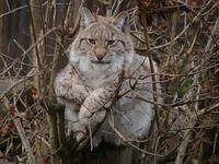 Lynx en arbre