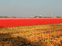 Tulips & hyacinths on field