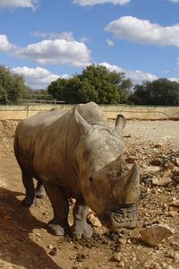 Rinocerus 1