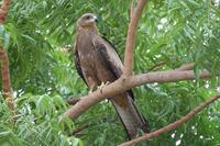 Kite / Small Hawk 3