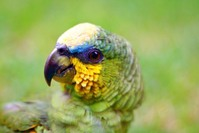 Chichi Parrot