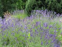 Lavendel / Lavender 1