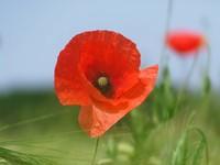 Poppy Day 2