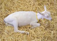 Angelic Goat