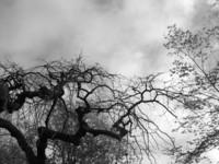 grey tree