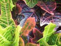 Lurid Leaves