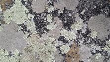 lichen 2
