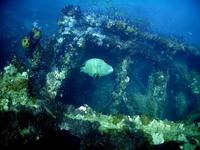 Big fish near shipwreck