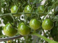 Green Tomato Set 3