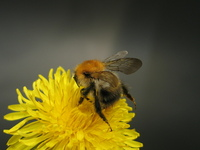 Bumbel Bee 3