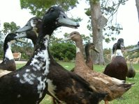 Feeding The Ducks at Old Noarl