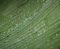 Water Droplets on a Large Leaf.