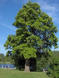 Tree, Green Island, Ottawa, Canada