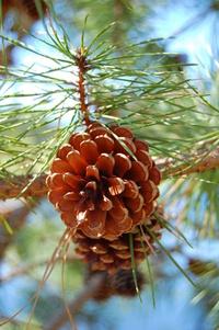 Pinecone Pine Barrens 2