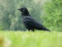 Carrion Crow 5