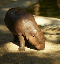 Calf of hippopotamus