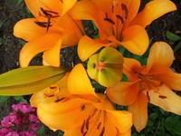 Orange Lily 4