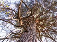 High pine