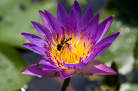 Bee on Water Lilly