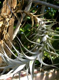 white epiphyte