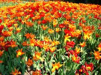 Poppies from Belgium