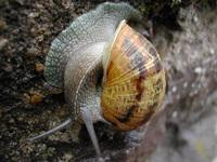 Spanish Snail