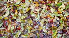 Fallen Leaves 4
