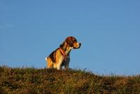 Lucky the beagle 5