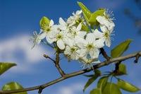 Blossums 4