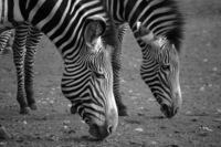 Zebra in Black & White