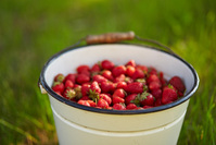 A bucket full of fresh strawberries